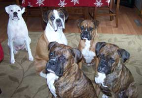 George with his 4 Boxer siblings at home